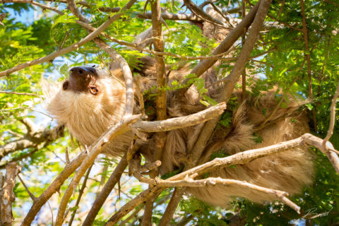 Tree Sloth at Finca Las Nubes