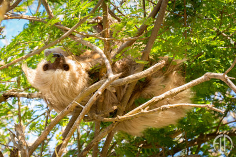 Two-toed tree sloth in a tree at Finca Las Nubes