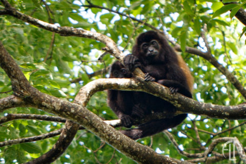 Howler Monkey pair in a tree at Finca Las nubes