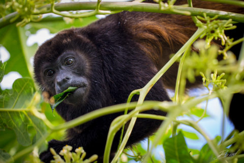 Howler monkey at Casa Buenavida Vacation Rental in San Juan Del Sur