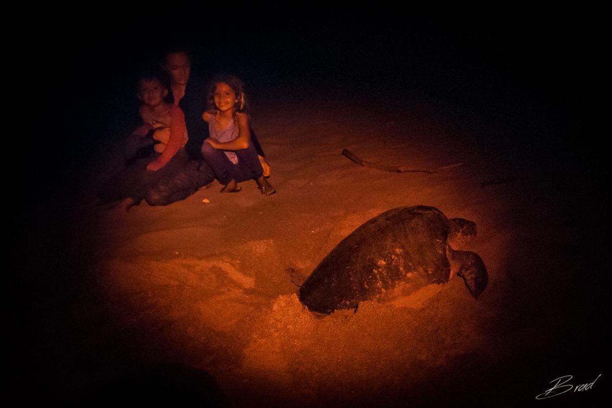 Nesting Sea Turtle at Playa La Flor