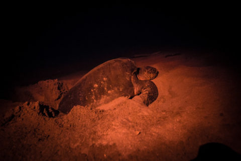 Nesting Sea Turtle at Playa La Flor family tour from Finca Las Nubes