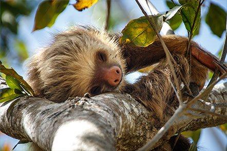 Tree Sloth at Finca Las Nubes